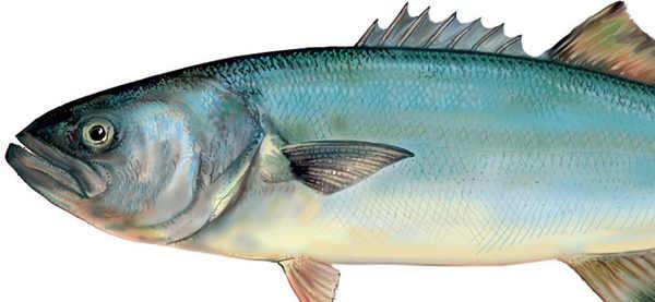 lista del pesce azzurro