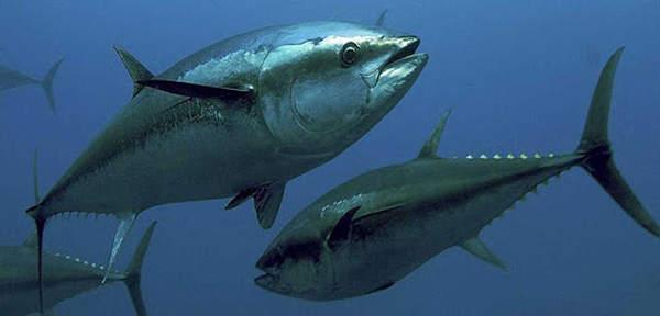 caratteristiche del tonno