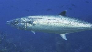 caballa pescado azul