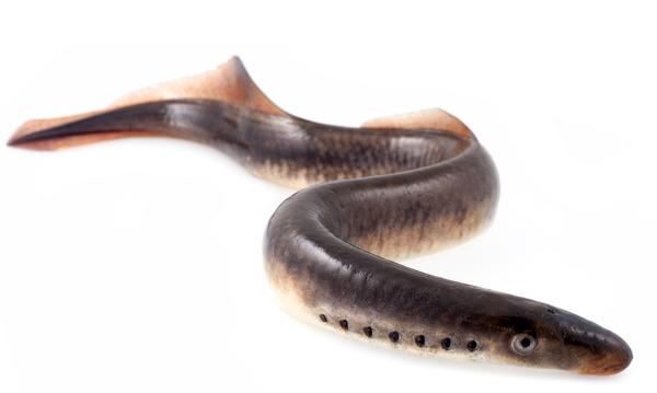 lamprea