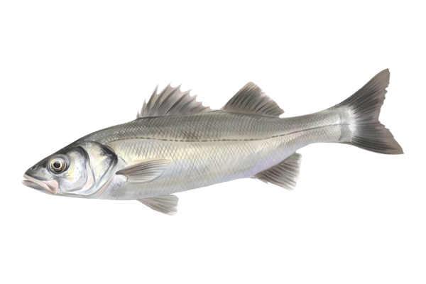 listado pescados blancos